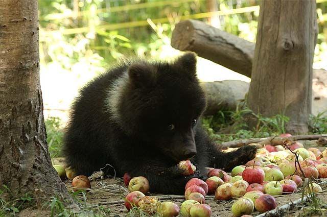 Медвежата из Коми научатся самостоятельно жить и вернутся в тайгу.