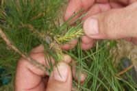 Обработка хвойных деревьев от вредителя - пилильщика-ткача звёздчатого началась в лесах области с 1 июня.