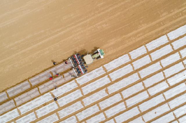 Автономная посевная машина высаживает семена хлопка на высоко- урожайном демонстрационном поле в уезде Куча Синьцзян-Уйгурского автономного района, 26 марта.