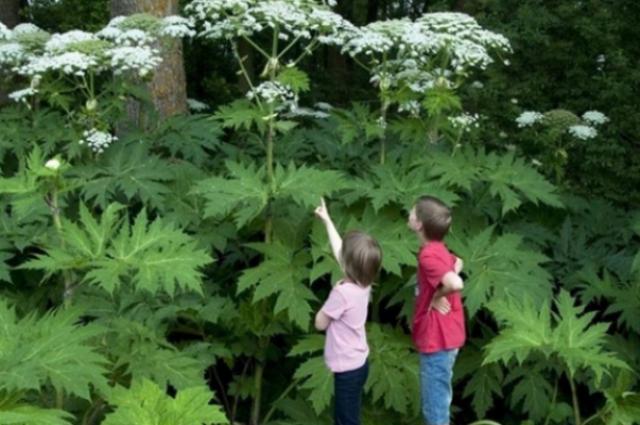 Вплоть до летальных исходов. Какие растения и чем могут навредить здоровью.