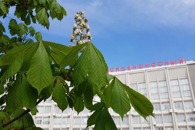 Кусты с белыми цветами можно увидеть на проспекте Мира и возле городской администрации.