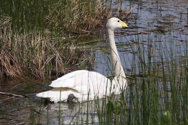 Лебедя в мае выпустили на одно из озёр Еткульского района.
