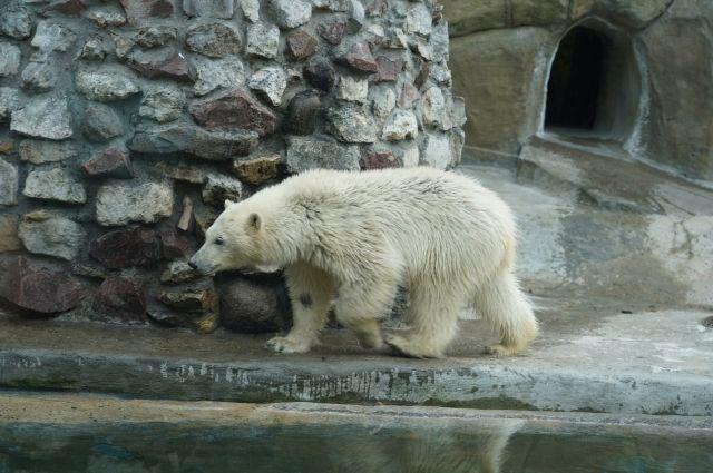 В московском зоопарке спасенная белая медведица живет 1,5 месяца.