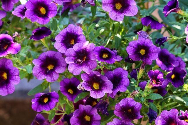 Подкормка борной кислотой поможет добиться пышного цветения петуний.