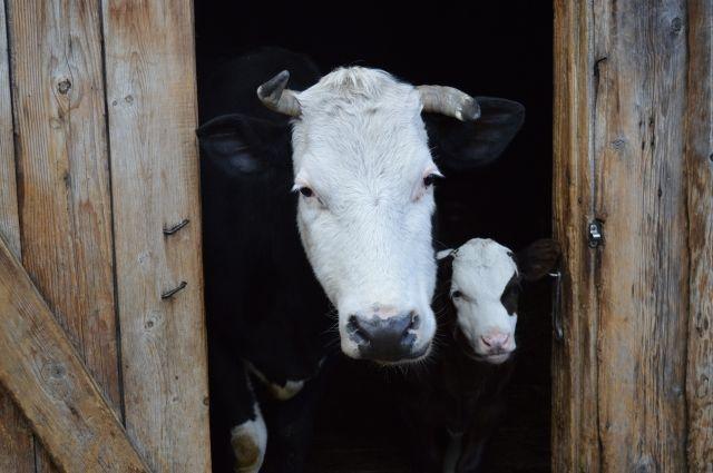 Административное наказание за появление скота на территории общего пользования составят от 1 до 50 тысяч рублей.