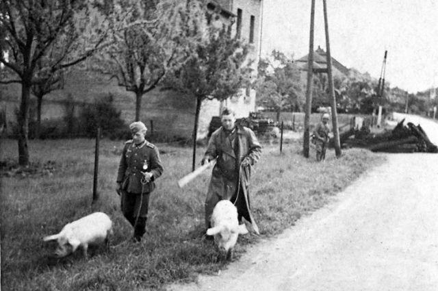Немецкие солдаты гонят свиней, отобранных у русских жителей, в деревне под Воронежем, 1942 г.