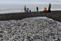 Удивительно, но факт: сегодня в Мурманск мойву привозят с Фарерских островов. В начале мая северяне вылавливали рыбку в Териберке.