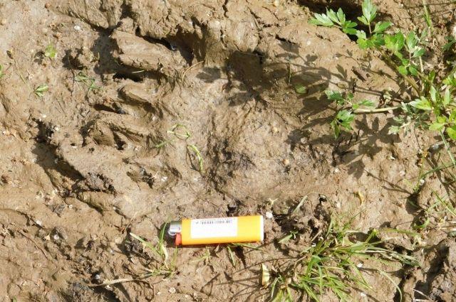 Следы медведя замечены у камня Ветлан.