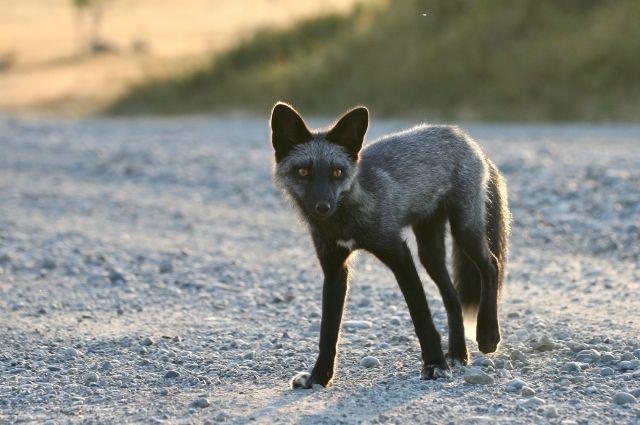 Жители Салехарда встретили в лесу редкую черную лисицу