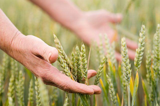 Надежда на сохранение посевов пока остаётся.