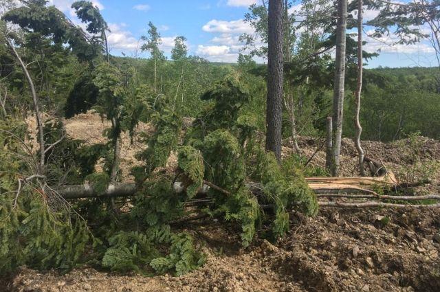 Сотрудники насчитали восемь берез, шесть ив, пихту и два тиса остроконечных. Практически все деревья выкорчеваны с корнями.