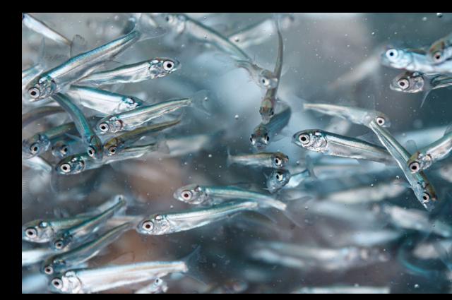 «Собский рыбоводный завод» поставит молодь муксуна на 55 млн рублей