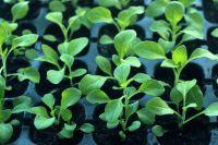 Тюменцам рассказали, чем полезна свежая зелень