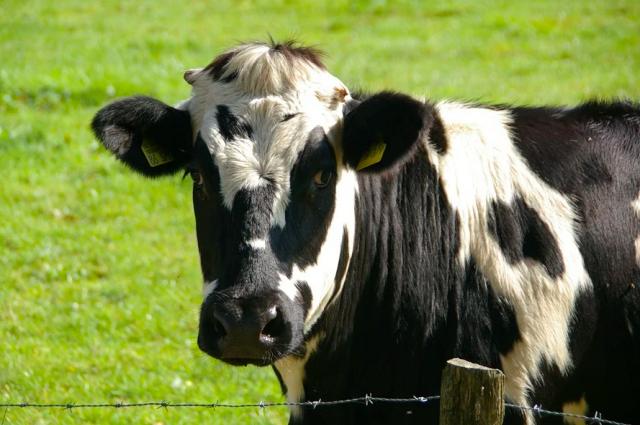В мае этого года специалисты обследовали 1860 голов крупного рогатого скота