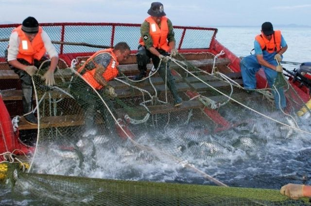 Однако ученые уточняют, что сроки промышленной добычи, возможно, будут откорректированы - в зависимости от фактических подходов рыбы.