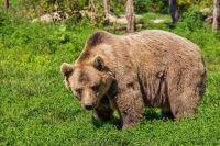 Медведь считается самым опасным животным.