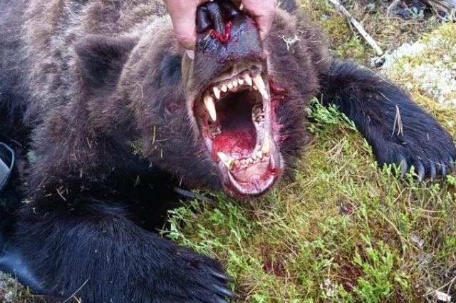 Агрессивную медведицу обезврелили сотрудники МЧС и природного парка.