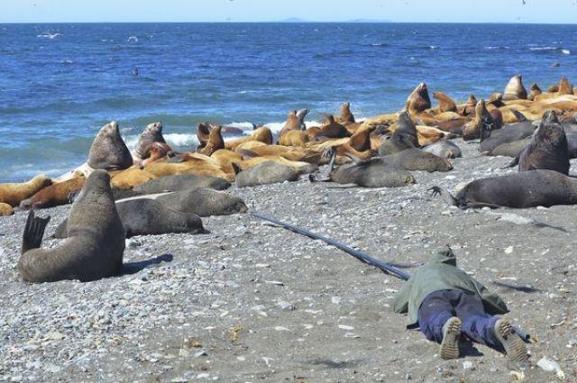 Поскольку сейчас на острове идет активное рождение щенков сивучей, то работы по распутыванию морских котиков проводились только на холостяковых участках с применением телескопического шеста.