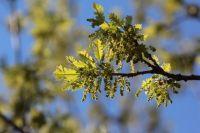 Пыльца может способствовать распространению COVID-19, - ученые