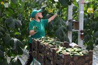 10 тепличных комбинатов края обеспечивают круглогодичное производство свежих овощей.