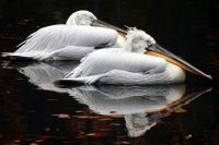 Кудрявые пеликаны.