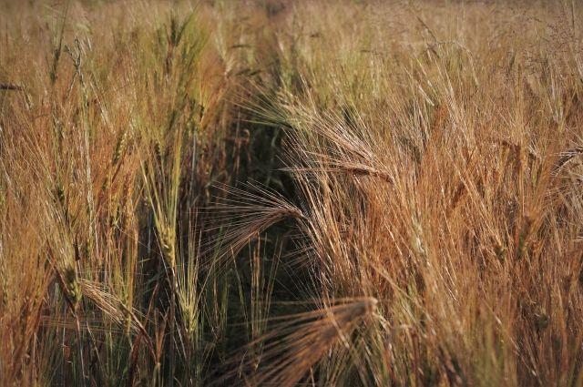 В Оренбуржье саранча может погубить урожаи хлеба.