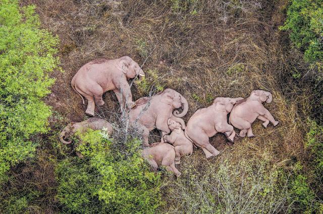 Дикие азиатские слоны отдыхают 7 июня в районе Цзиньнин города Куньмин провинции Юньнань.
