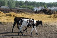 Бесконтрольный выпас животных создаёт условия для ДТП.