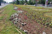 Рассада петунии в Северном округе города была заражена инфекцией.