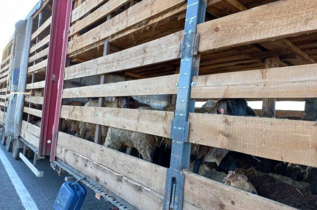 В Киргизию хотели вывезти 693 головы мелкого рогатого скота без ветеринарных документов.