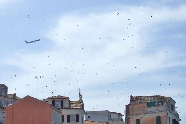 Город захватила популяция черных стрижей.
