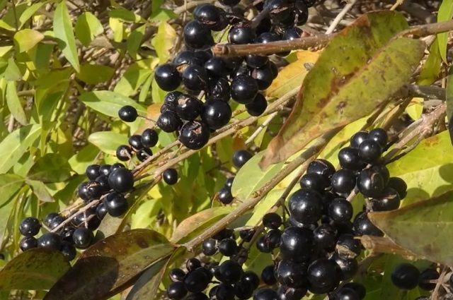 По осени на бирючине созревают ягоды, содержащие алкалоиды.