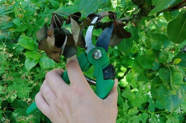 Засохшие листья– первый признак болезни.