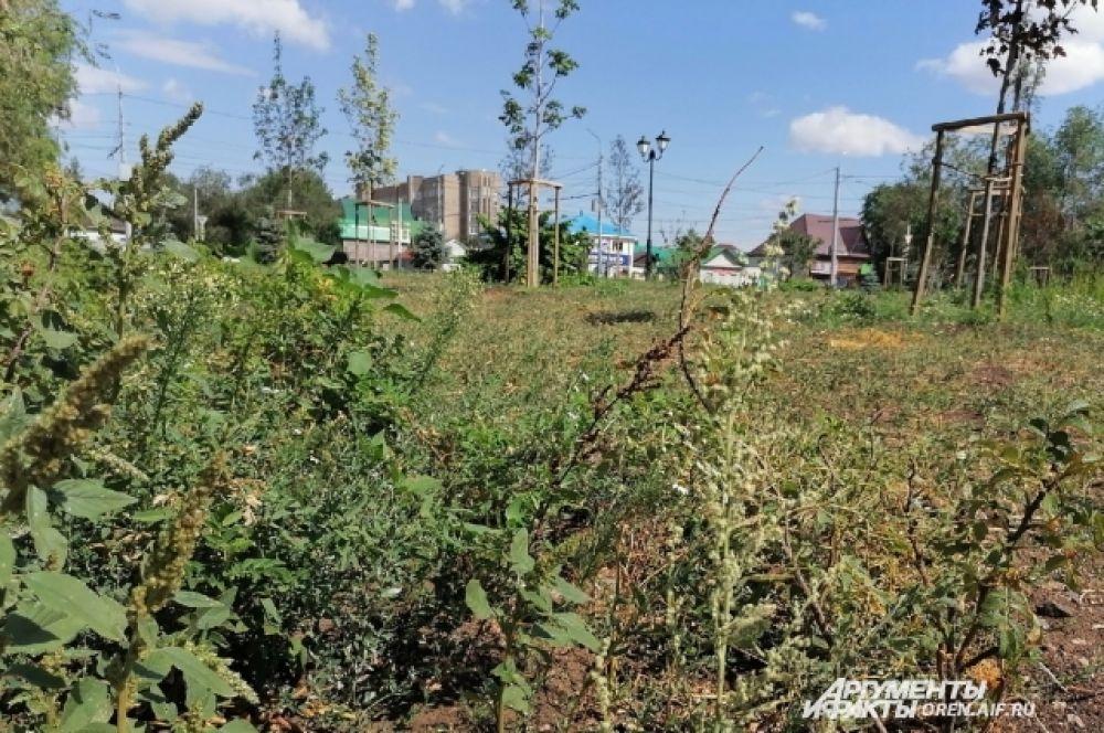 Место, где высажены дорогие и эксклюзивные деревья, зарастает сорняком.