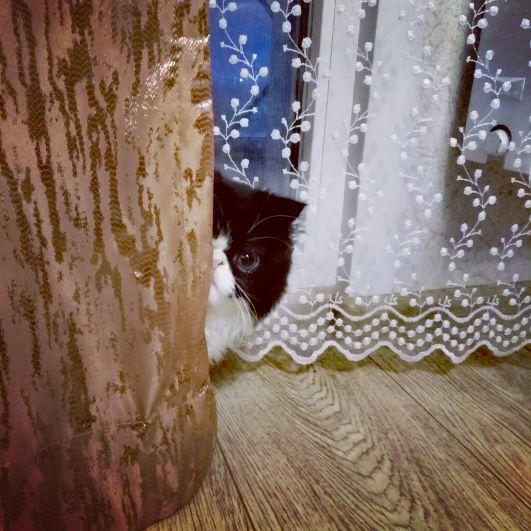 Персидская кошка Мика. Участник №16