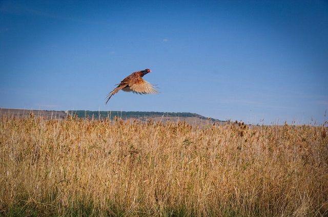 Численность пернатых в крае растёт, фазаны даже машин не боятся.
