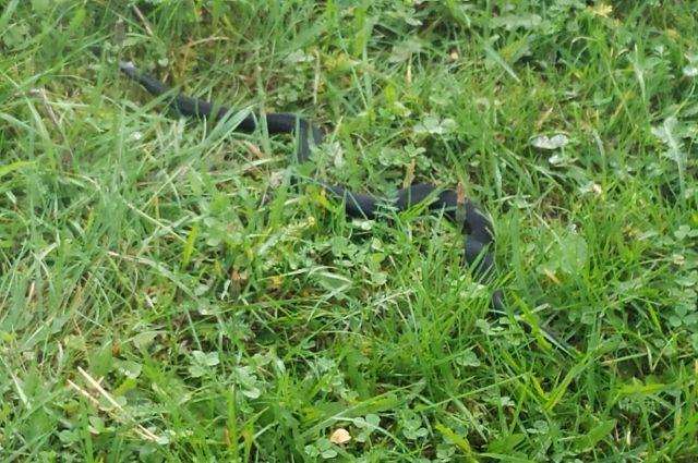 Змеи не раз встречались в огородах жителей пермского края.