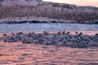 Возле украинской станции в Антарктиде рекордное скопление пингвинов.