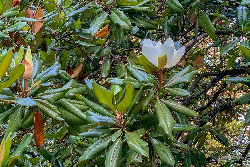 Цветение крупноцветковой магнолии начинается в мае и продолжается до октября.