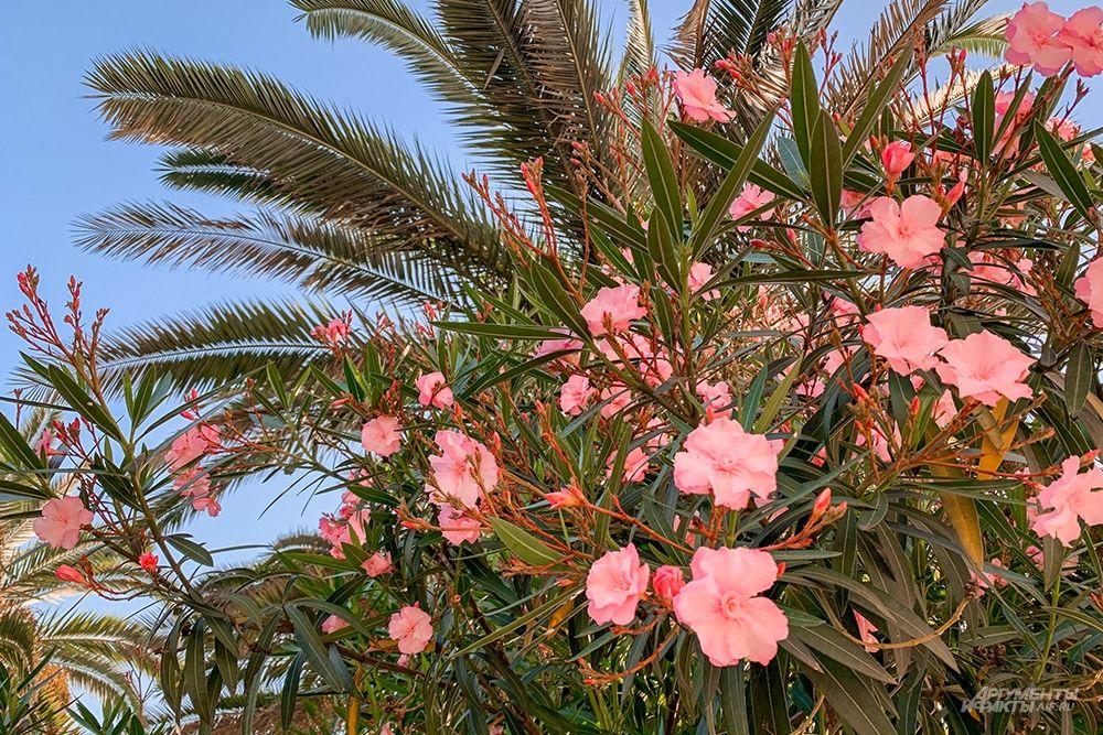 Пальмы и олеандры часто соседствуют на газонах парка.