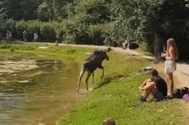 Ну ты и лось! В Москве сохатый полюбил купаться в пруду парка «Сокольники»