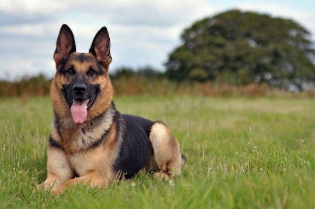 Закон о защите животных. Запрет на фуа-гра и цепь для собак от 10 метров.