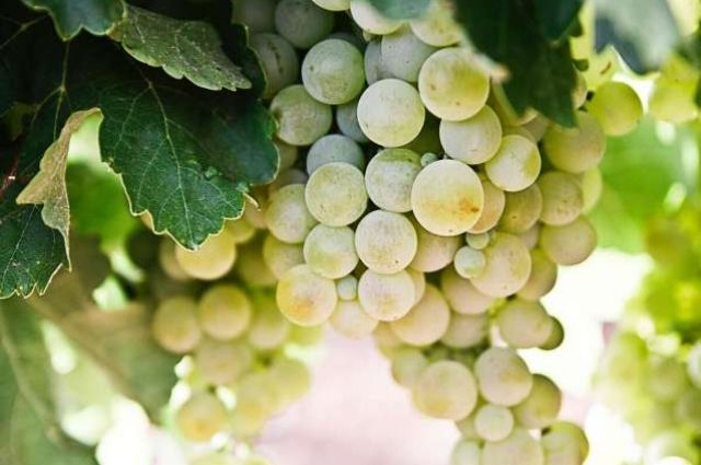 Виноград: польза и вред для организма.