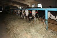 На Ставрополье наращивают производство продукции животноводства.