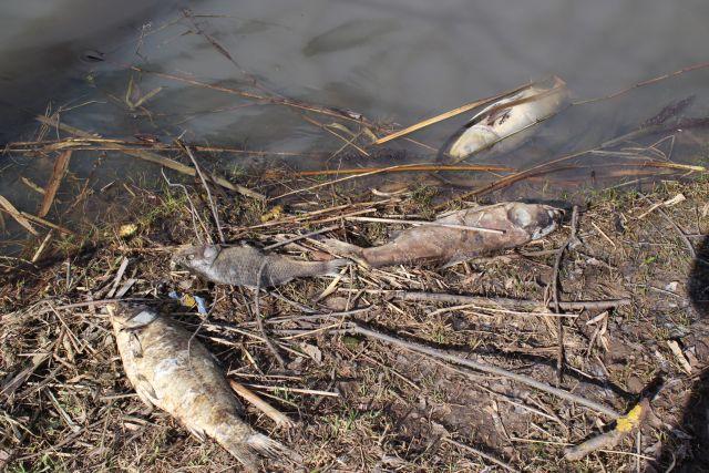 Псковичи сообщают о массовой гибели рыбы в водоёмах