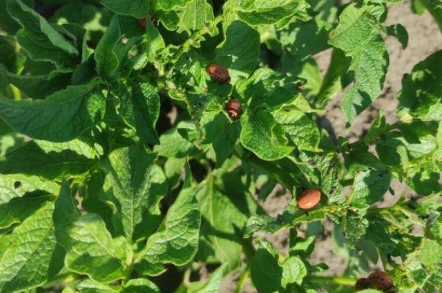 Кроме сбора личинок и жуков, нужно осматривать листья снаружи и внутри.