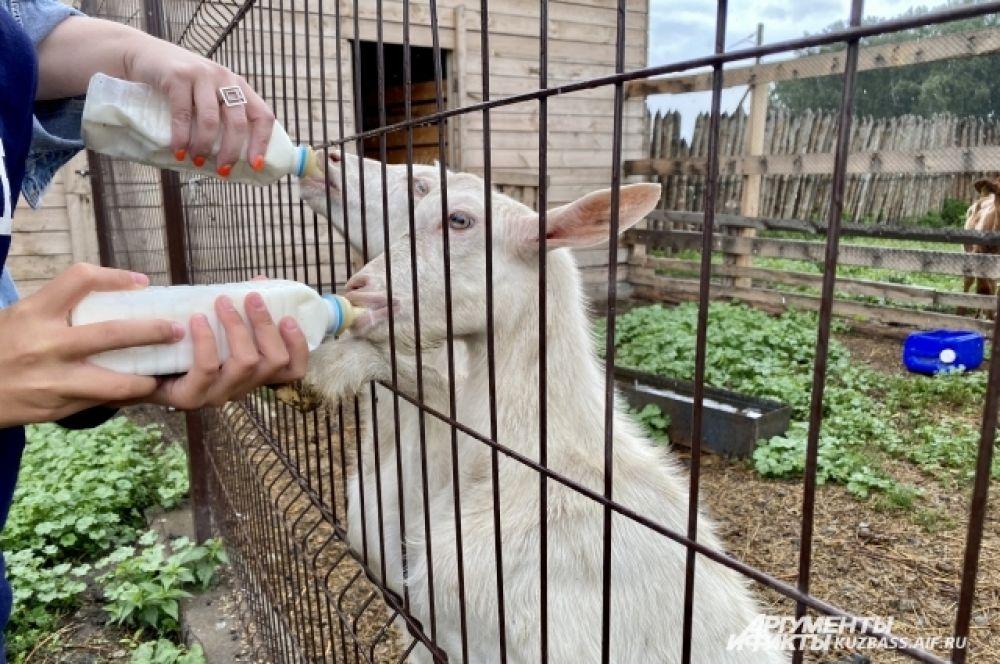 На сыр «работают» 60 коров редкой айрширской породы (ее молоко считается самым вкусным в мире) и около 300 коз. Первый сыр Лобановы стали делать два года назад, хотя ферма существует с 2015 года.