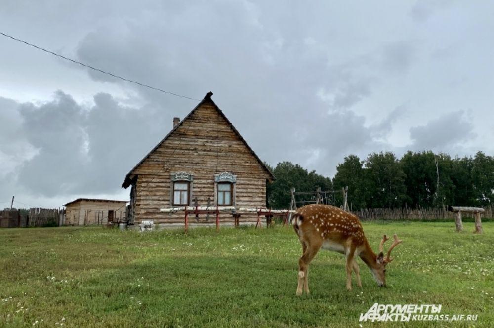 Туристам на сыроварне можно покормить оленя, попоить с бутылочки козлят, переодеться в русскую народную одежду и покататься на карете.