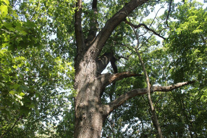 Старый дуб в парке усадьбы конезавода