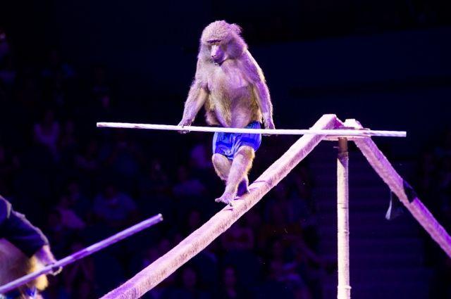 В цирках по-прежнему много номеров с участием диких животных. Но всё больше людей приходят к мысли, что от этого нужно отказываться.